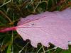 Taublatt (Jörg Paul Kaspari) Tags: bettenfeld diebergkraterseetour wanderung herbst autumn fall eifel vulkaneifel tau taublatt blatt leaf pappelblatt rot red herbstfärbung