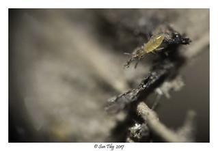 Entomobrya nigrocincta juvénile
