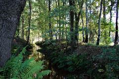sunny autumn day (*spectator*) Tags: autumn fall herfst sun light belgium belgie kempen trees forest