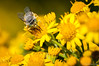 (chuck_raup) Tags: wasp bee flower flowers yellow yellowflower wild wing wings kent kentwa outdoors outdoor outside washington washingtonstate wa wildlife sunlight usa ngc npc nikon nikond90 d90