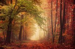 Harmonium (Zsolt Zsigmond) Tags: autumn forest leaf nature tree season woodland orangecolor red outdoors landscape yellow goldcolored sunlight october beautyinnature scenics sunbeam multicolored lightnaturalphenomenon