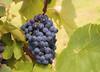 Süße Trauben (Mariandl48) Tags: süsetrauben weintrauben reben weinblätter steiermark austria