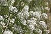 Lobularia maritima  Sweet Alyssum (dbarlow) Tags: lobulariamaritima sweet alyssum