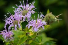 _U7A5083 (rpealit) Tags: scenery wildlife nature hyper humus wild bergamot monarda