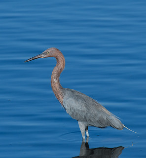 Reddish Egret: Orange County