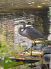 LET'S DO LUNCH (Bill Vrtar Photo) Tags: blueheron heron lilypond millcreekpark vrtarsmugmugcom bird waterfowl wildlife