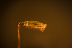 P1010193-1 (A 51) Tags: macro nature outdoors lumix spores fungi moss