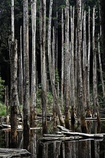 _DSC0088 Lotus Forest