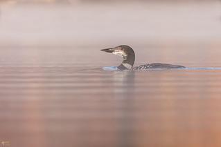 ''La mue!'' Plongeon-huard-Common loon