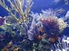 Wonders of Wildlife and Aquarium (jrucker94) Tags: wondersofwildlifeandaquarium springfield missouri springfieldmo aquarium lionfish fish coral