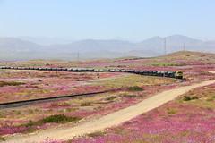Desierto florido (Domingo Kauak) Tags: desierto florido atacama chile vallenar ferronor emd gt46ac cap train locomotive desert flowers flores
