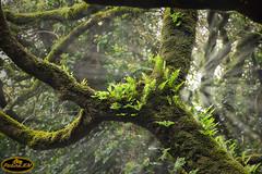 Bosque de la Niebla (PictureJem) Tags: niebla naturaleza arbol cof009dmnq cof009pasc cof009step cof009mari cof009phot cof009elvi
