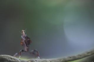 Mantis Paradoxa