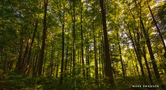 Morning light in the forest (mswan777) Tags: 1020mm sigma d5100 nikon tall autumn leaf stevensville michigan nature outdoor scenic sunrise light morning trail hike wood forest tree