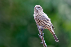 House Finch (Life of David) Tags: california camarillo canon5dmarkiv haemorhousmexicanus usa wildlife backyard beautiful beauty bird housefinch nature world100f