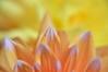 rosa Spitze (Lilith-Luana) Tags: rosa orange gelb farbenfroh blume blütenblatt natur nature blossom makro verschwommen hell nahaufnahme closeupx10