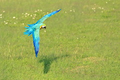 IMG_2784M Blue wing over grassland (陳炯垣) Tags: