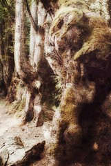 Allée des Géants   Allier - Auvergne (Elisabeth de Ru) Tags: france frankrijk allier auvergne geotagged elisabethmartijnstourdefrance2017 bomen trees forrest bos oerbos chemindessorcières labletterie plantationsdehêtres ©elisabethderu