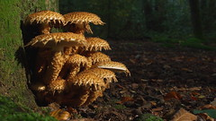 Shaggy Scalycap - Pholiota squarrosa - 3 (Visual Stripes) Tags: fungus fungi mushrooms nature forest autumn 35mmmacro olympus panasoniclumixg1
