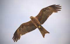 lagoon creek - a black kite (Fat Burns ☮ (on/off)) Tags: blackkite milvusmigrans kite raptor bird australianbird fauna australianfauna hawk nikond500 sigma150600mmf563dgoshsmsports barcaldine lagooncreek queensland australia nature outdoors