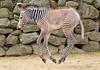 grevy zebra artis BB2A2544 (j.a.kok) Tags: zebra grevyzebra grevy´szebra equusgrevyi equus artis animal zoogdier dier mammal herbivore afrika africa