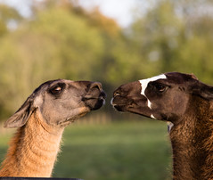 llama kiss (Adventure Of Ollie) Tags: wild water weather wildlife sweet raw show perspective beauty pet bright british pretty art friends friend framing orange prospect time thought cute nature happy photography uu uk sun infocus interesting life live vibrant light lighting colour contrast composition focus love bokeh comment photo photograph peace animal alert canon canon6d canonclub canonuser canon70200mm dangerous danger fall basingstoke sharp document f28 flckr health llens l