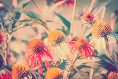 Coneflowers in the Sun (Chickens in the Trees (vns2009)) Tags: echinacea coneflower flowers floral scenic botanical plants garden warm jewel tones gold red teal affected vintage retro texture
