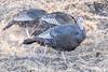 Kickin dust-4574 (alankrakauer) Tags: wildturkeys turkeys wildlife urbanbirds urbanwildlife foraging foragingbehavior gamebird