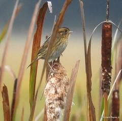 Nelson's Sparrow_N7462 (Henryr10) Tags: ellislake ellislakewetlands avian bird vogel ibon oiseau pasare fågel uccello tékklistar songbird nsts nelsonssparrow sparrow ammodramusnelsoni ammodramus