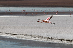 Laguna Colorada - Vol d'un Flamant rose. (jmboyer) Tags: bo0530 bolivie bolivia travel ameriquedusud canon voyage ©jmboyer nationalgeographie potosi canon6d yahoophoto géo yahoo photoyahoo flickr photos southamerica sudamerica photosbolivie boliviafotos canonfrance eos bolivien bolivienne tribal nationalgeographic googlephotos