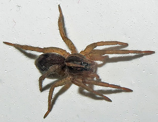 Unidentified Wolf Spider, Rosedale Lake, Lawrence Township, NJ