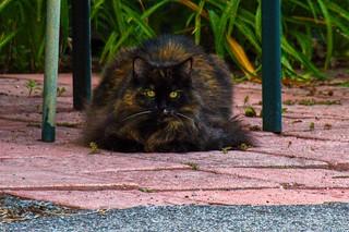 Lake Placid  New York ~ Black Siberian Cat ~ Feline ~ Posing