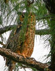 Owl in Hiding (tclaud2002) Tags: owl tree pinetree needles bird birdofprey wildlife naturalarea northjupiterflatwoodsnaturalarea jupiter florida usa natire