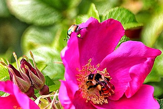 Lake Placid - New York - Flower Garden with Bumble Bee & Beetle