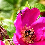 Lake Placid - New York - Flower Garden with Bumble Bee & Beetle thumbnail