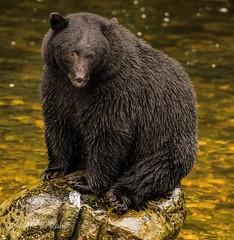 _DSC2909.jpg Rock Sitter (Wayne Duke 76) Tags: bear animal creek rock spawningsalmon