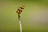 DSC03373.jpg (joe.spandrusyszyn) Tags: celithemis orlando odonata nature insect halloweenpennant unitedstatesofamerica celithemiseponina dragonfly byjoespandrusyszyn libellulidae florida shadowbaypark animal arthropod pennant anisoptera