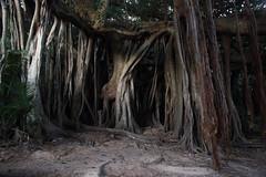 Lord Howe Island Banyan (Ficus macrophylla) (patrickkavanagh) Tags: banyan lordhoweisland ficusmacrophylla