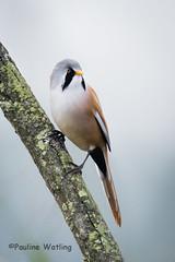 Bearded Tit 1 (stagenutuk) Tags: beardedtit bird nature naturereserve nikond7200 tamron150600mmlens somersetlevels somerset