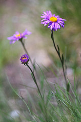 Aster des Alpes (-Dop-) Tags: asteraceae termignon vanoise france asteralpinus