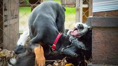 Pup Fight (zola.kovacsh) Tags: outdoor animal pet dog school pup puppy dobermann doberman pinscher border collie