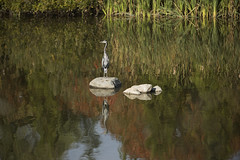Great Blue Heron_Steve_6604 (Mike Head -Jetwashphotos) Tags: langley bc britishcolumbia canada westerncanada westernregion fishing food pond marsh autumn