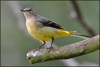 Grey Wagtail (image 3 of 3)