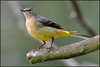Grey Wagtail (image 3 of 3) (Full Moon Images) Tags: rspb sandy lodge thelodge wildlife nature reserve bedfordshire bird grey wagtail