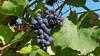 Der Wein ist gut, die Sonne scheint (Oerliuschi) Tags: wein weintrauben herbst kaiserstuhl weinberge ihringen natur