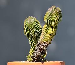 Crassula cv.