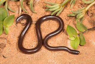 Indophotyphlops braminus - Flower Pot Snake.
