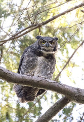 097A2804_edit_resized_wm (Lisa Snow Photography) Tags: great horned owl