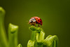 Ladybug (Magda Banach) Tags: canon ladybug autumn colors flora garden green insect macro nature october plants poland red 80d