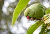 Green (Fernandolunad) Tags: green verde parrot loro cotorra pájaro ave bird animal nature naturaleza park parque plumas color silvestre bokeh